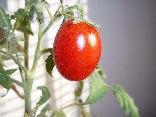 """Помидоры - не только вкусные и полезные овощи, они могут стать настоящим украшением кухни весной, и самым натуральным лакомством летом! Купить фермерские натуральные помидорчики можно у нас - есть красные краснодарские, желтые сливовидные, розовые бакинские и даже черные """"Кумато"""". Заказывайте натуральные продукты в нашем фермерском супермаркете #sferm…"""