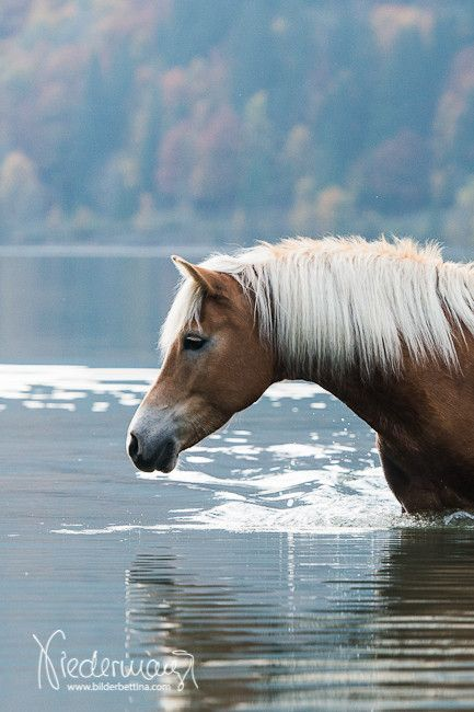 Haflinger - by Bettina Niedermayr