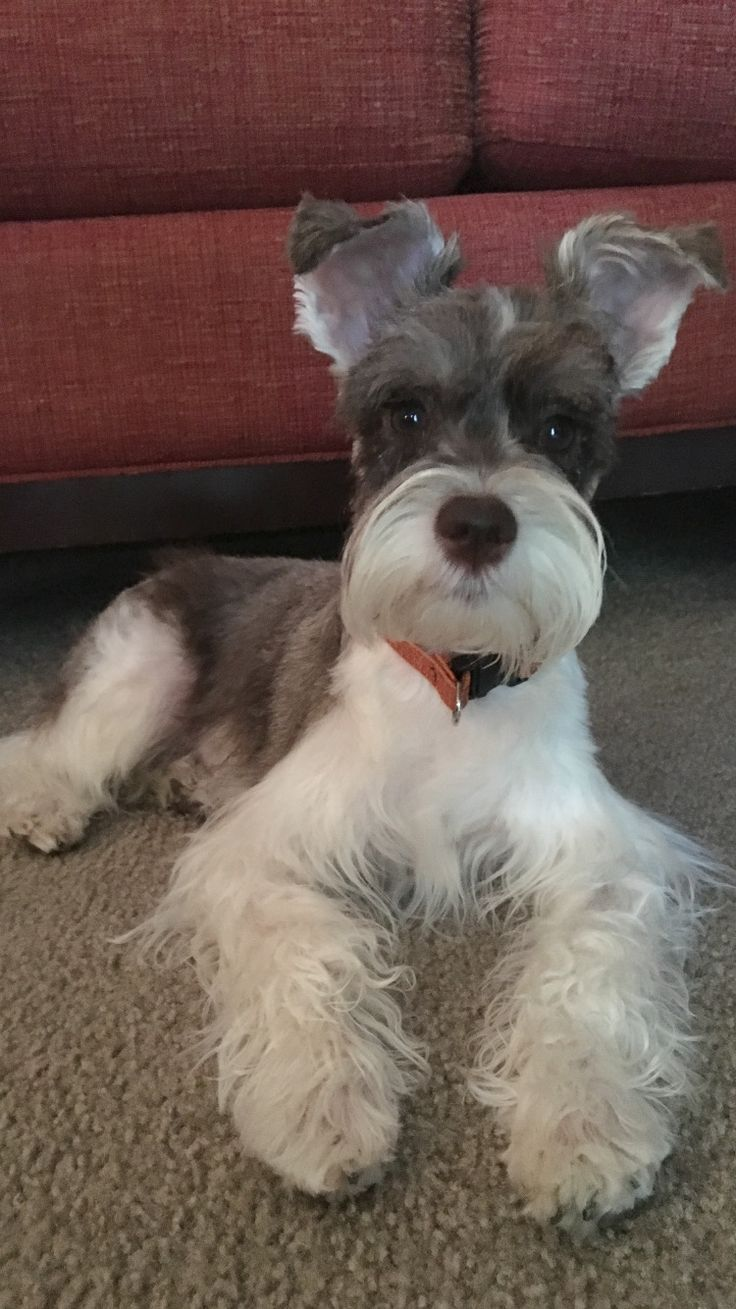 schnauzer haircut styles best 25 schnauzer grooming ideas on miniature 2501
