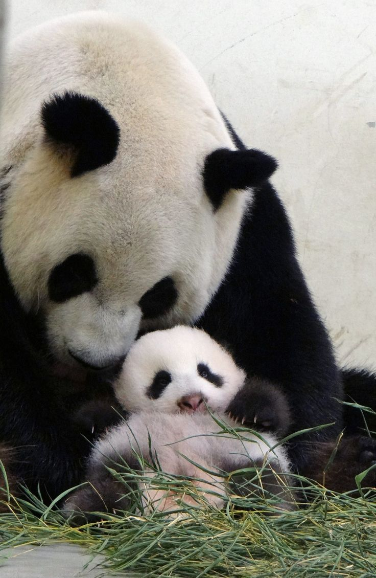 panda bear essay Pandas are the rarest and the most distinctively marked bear species they are of two types namely lesser, or red, pandas and the giant pandas their basic.