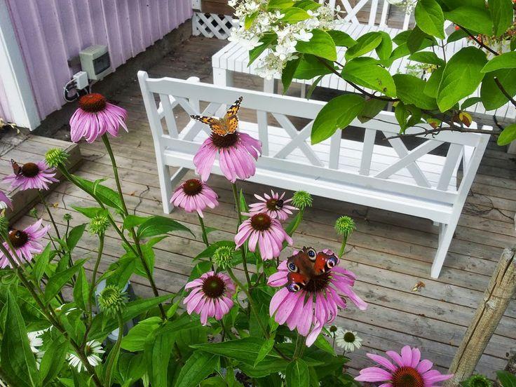 Butterflies love the echinacea - Summer 2013