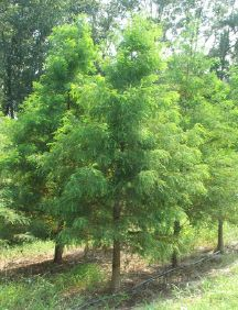 Bald cypress tree...stately but soft,planted my first one this winter.