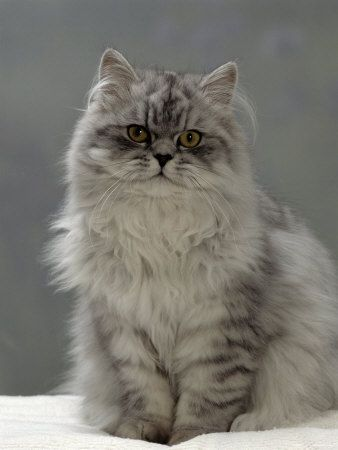 Domestic Cat, Silver Tabby Chinchilla-Cross-Persian in Full Coat Premium Poster