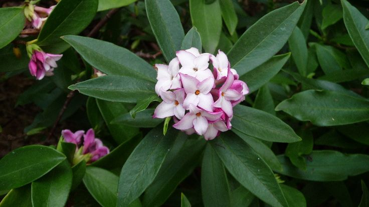 August 2015..... Still filling the courtyard with wonderful aromas every day, this daphne has flowered right through winter.  http://ashjarth.blogspot.com.au/
