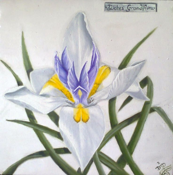 Dietes Grandflora - by Dawn Du Preez  Available on  http://sherrynssecret.com/index.php?route=product/category&path=126