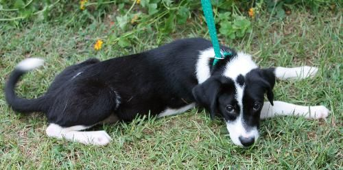 Ava is a 6-month-old female Beagle/Terrier mix.  She is a mixture of black with white markings.  Ava has a white strip down her face and a black dot on the top of her head.  She is a beautiful little girl who only weighs 17 pounds.  Ava appears to...