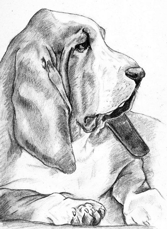 Kleurplaten Realistische Dieren Basset Hound Pencil Maybe This Summer You Can Try And
