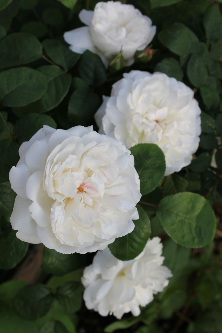'Winchester Cathedral' | Shrub. English Rose Collection. David C. H. Austin, 1988
