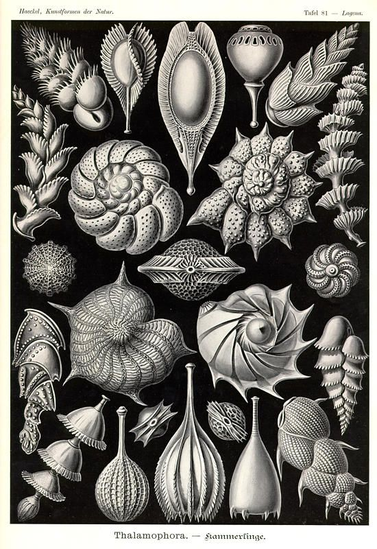Ernst Haeckel | Shells | http://www.kuriositas.com/2012/01/art-forms-of-nature-ernst-haeckel.html