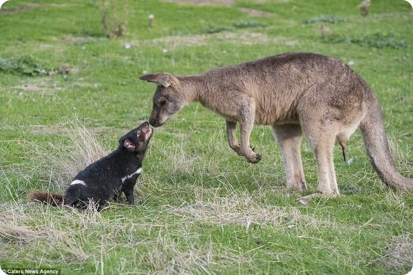 Два австралийских обитателя: тасманийский дьявол (лат. Sarcophilus harrisii) и кенгуру (лат. Macropus) рады приветствовать друг друга на опушке леса в Тасмании (Австралия).