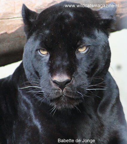 examples of Melanism in animals - leopard   Melanism ...