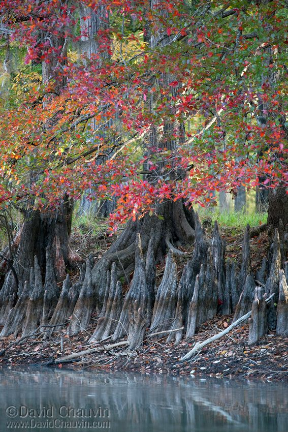 "Cypress Trees in autumn - Louisiana, USA (by David Chauvin). Cypress ""knees"" are part of their root systems that push up and form fantastical shapes.:"