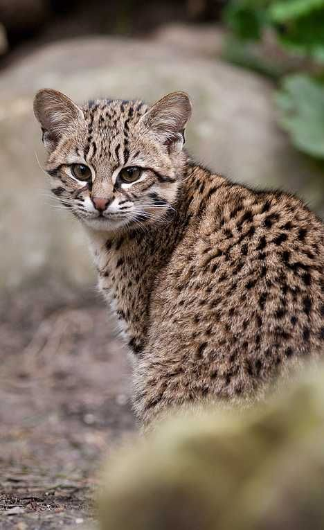"""GEOFFROY'S CAT (Leopardus geoffroyi) is found in Argentina, paraguay and Boliva. Averaging 24"""" long and 4.4 to ll lb"""