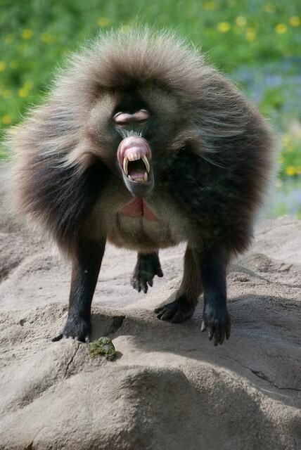 Strange Animals @Strange_Animals   The Kipunji - a monkey from the highland forests of Tanzania. There are only 1000 individuals le...