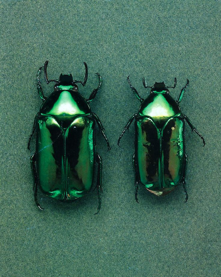 Green Beetles (http://obus.com.au/)
