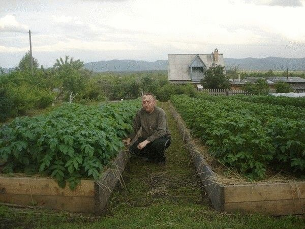 Экология земледелия: Попробовав все способы посадки картофеля, я пришёл к выводу о том, что нужно искать другой способ менее трудоёмкий, но при этом с возможностью получать более высокие урожаи