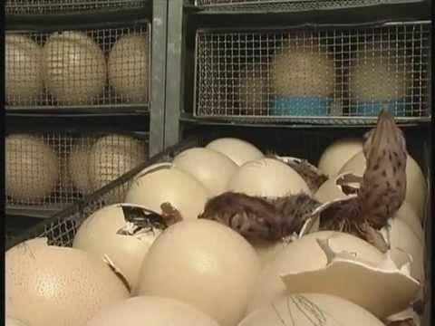 Ostrich  chicks hatching