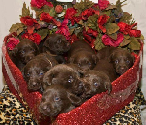 Chocolate Labrador Retriever Puppies In A Heart Shape Box