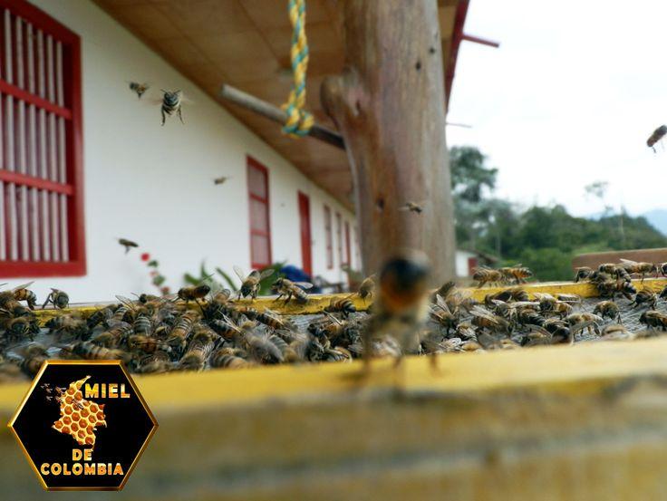 """El pillaje es un tipo de pecoreo """"equivocado"""" que consiste en que las abejas de una colonia roban las reservas de miel de otra. Las abejas africanizadas son más pilladoras que las europeas y este comportamiento se manifiesta de manera aguda, particularmente durante las épocas de escasez de néctar. El pillaje es perjudicial para las colonias de abejas, no sólo porque algunas de ellas pierden reservas de alimento, sino también porque este comportamiento favorece la transmisión de enfermedades."""
