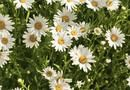 Shasta Daisy Diseases | Home Guides | SF Gate