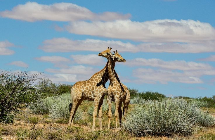 Giraffes necking at Augrabies Falls National Park South Africa. http://geogypsytraveler.com/2014/08/22/foto-friday-fun-73/