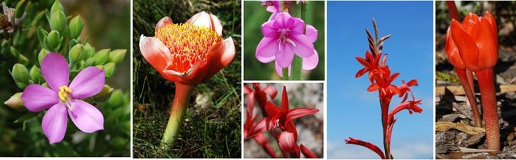 This is as beautiful as anything can get! And yet there is thousands of them all unique and stunning! South African Fynbos!!! Discover it and marvel at it. These photographed close to Pringle Bay, 1 h drive from Cape Town.