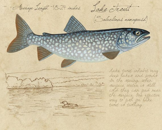 Lake Trout - 8x10 inch limited edition print by Matt Patterson, trout print, fishing print, natural history, cabin decor