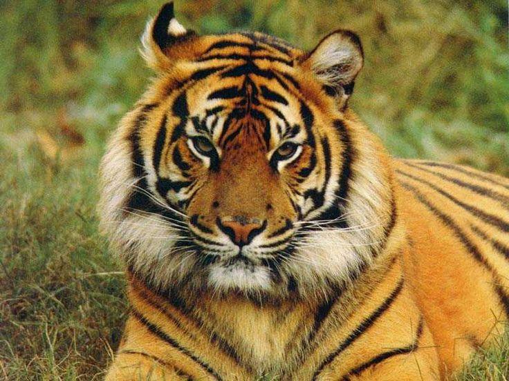 tigers | Crouching Tigers, Hidden Dangers