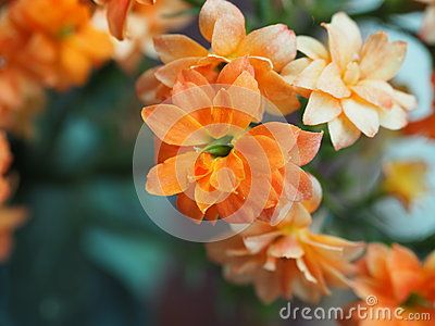 Close-up of the blossoms of an orange-flowered kalanchoe blossfeldiana, growing in a plant pot outdoors in Greece.