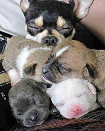 Mama Chi with her puppies❤️