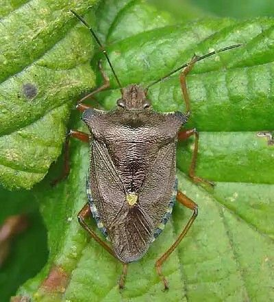 Pentatoma rufipes Red-legged Shieldbug adult