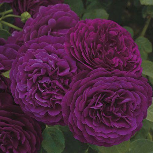 Twilight Zone Grandiflora Rose