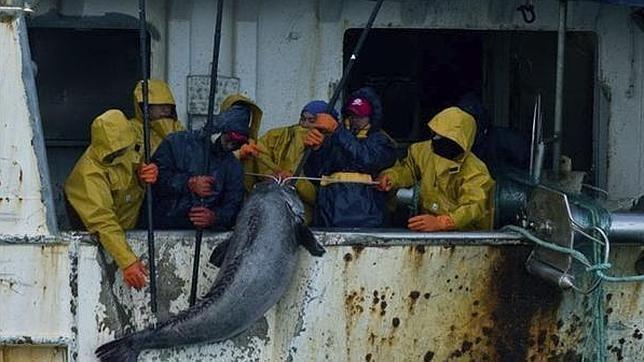Merluza negra  (Dissostichus eleginoides) Pesca ilegal de este pez de hasta 2000 mts de profundidad en las aguas frías subantárticas.