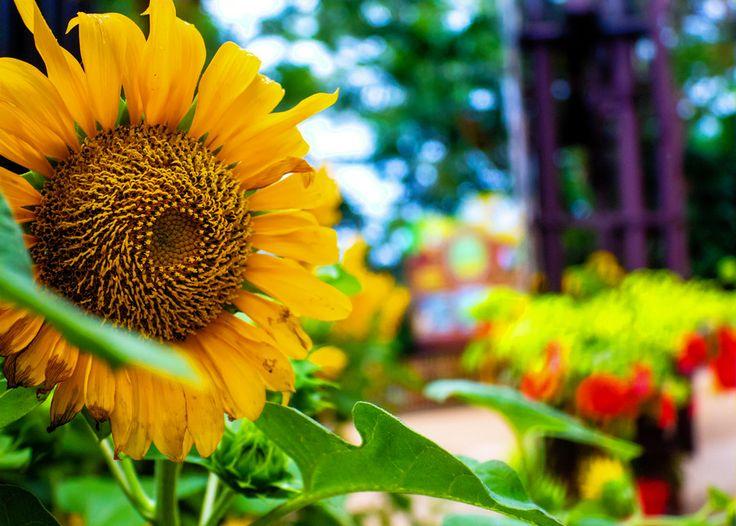 Sunflower by Susanta Sarkar on 500px