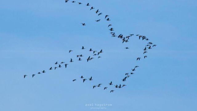Une colombe de la paix ébauchée par le vol d'oiseaux dans le ciel. C'est le moment surprenant saisi par l'appareil d'un photographe.