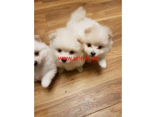 Adorable Pomeranian Puppies Available Now Los Angeles Free Classifieds Ads Pomeranian Puppy Puppies Pomeranian
