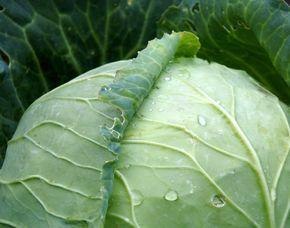 Obklady ze zelných listů se osvědčily jako účinný prostředek na četné neduhy