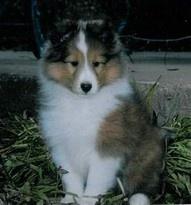 I love Sheltie puppies!!!