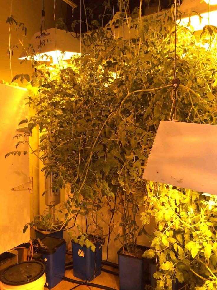 Culture de légume intérieur hiver