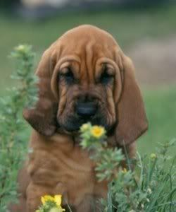I want a bloodhound! Please someone get me one now!
