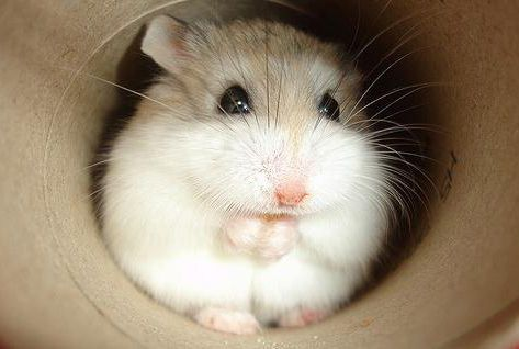 Robo hamster!!! This is my next hamster!