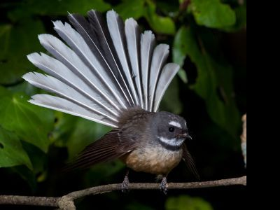 Fantail (piwakawaka) in flight