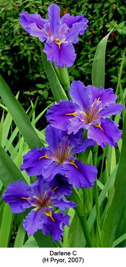 Louisiana Irises (image via New Zealand Iris Society) - plant in pots and submerge in dam. More