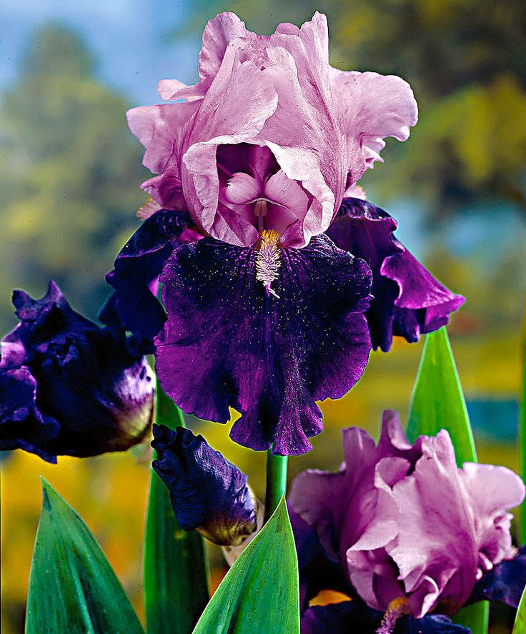 Bearded Iris 'Blue Bird Wine' | Plants from Bakker Spalding Garden Company