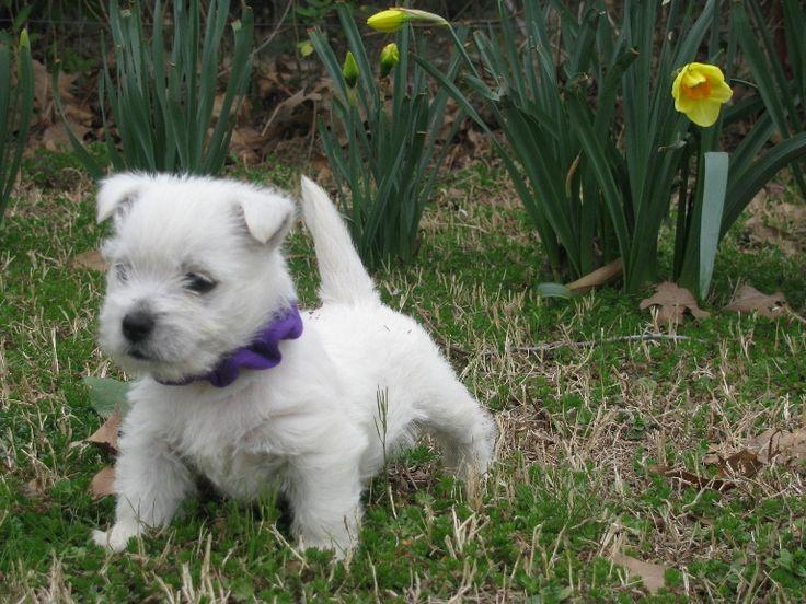 Westie puppy My Westies ) Pinterest
