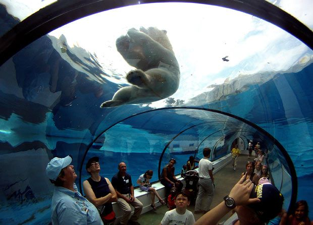 Detroit Zoo visitors watch a polar bear play with a frozen treat in the cool environment of the underwater Arctic Ring of Life exhibit in Royal Oak, Michigan