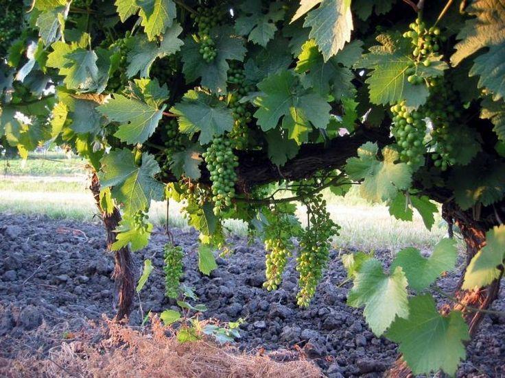 Нужно расширить виноградник? Или хотите поделиться саженцами с соседями, друзьями? Воспользуйтесь черенками. Во многих отношениях они проще и надежнее саженцев с рынка. О цене же говорить не приходитс…