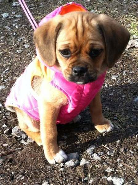 Puggle puppy, 8 weeks old.