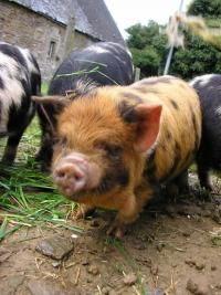 The Kune Kune pig originates from New Zealand. Their name is pronounced Cooney Cooney, and means fat and round in Maori.