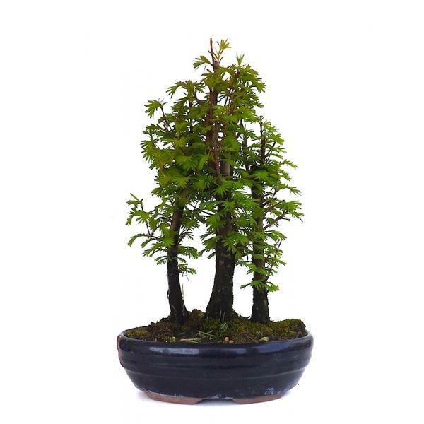 acheter votre bonsai for t de sequoia 30 cm 140401 en. Black Bedroom Furniture Sets. Home Design Ideas